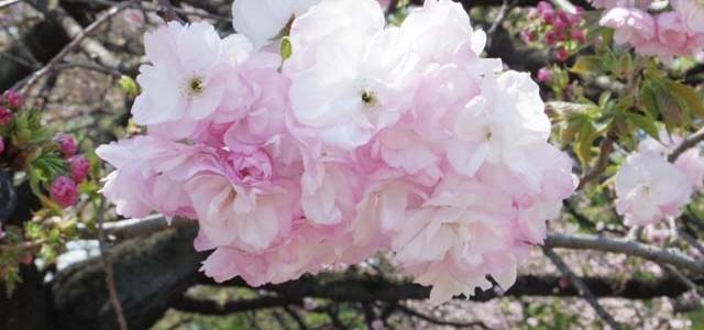 八重桜咲く! ~新宿御苑~