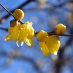 梅咲いてます~。ヽ(´▽`)/