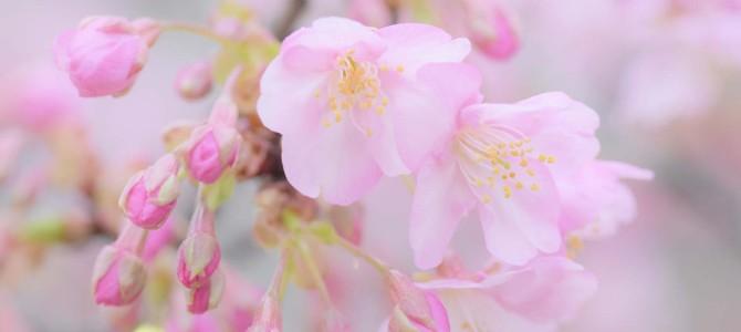 河津桜が咲き始めました!