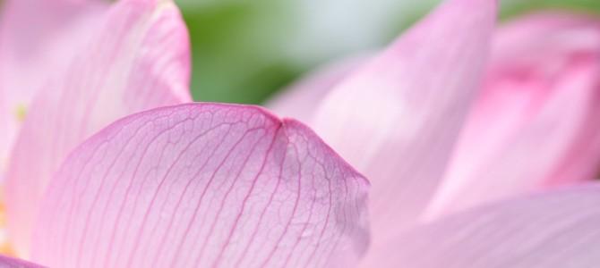 不忍池の蓮の花~❀❀❀