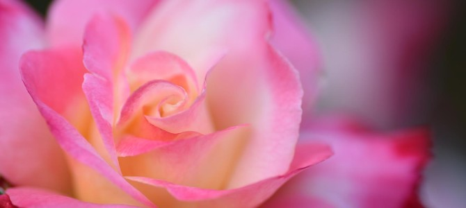 新宿御苑でバラを撮る件