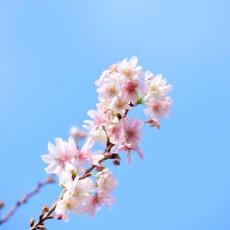 新宿御苑で桜を見たよ~ヽ(´▽`)/