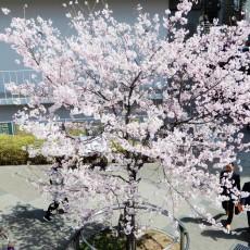 春爛漫~♪ヽ(´▽`)/ でも仕事が忙しい…