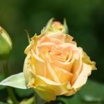神代植物公園~バラ咲き始め~