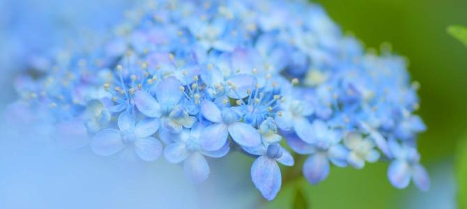 紫陽花が色づいてきましたね~( ´艸`)ムププ
