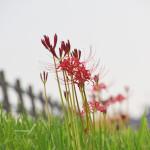 彼岸花が咲きました!~江戸川の土手