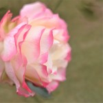 代々木公園でバラを見つけた件