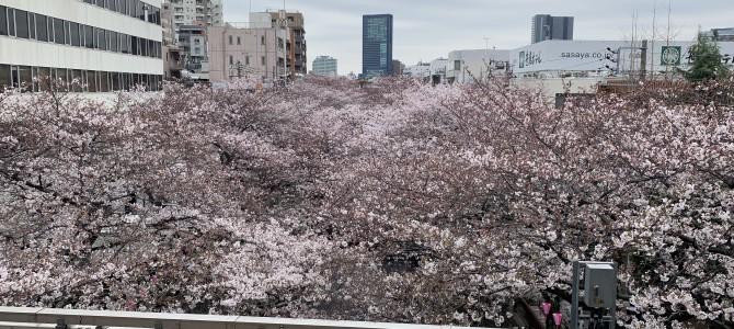 4月になりました!~桜満開!