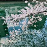 4月になりました!~桜満開!3