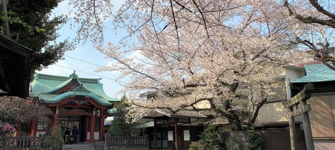 つくどはちまんじんじゃ ~桜