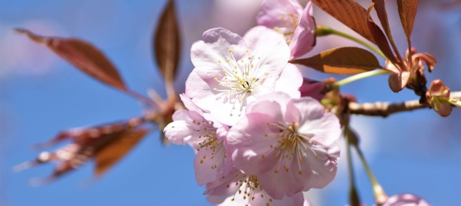 4月になりました!~桜満開!4