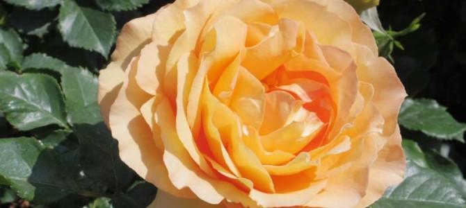 薔薇がいっぱい!☺♡♡♡♡☺(*≧∀≦*)