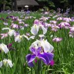 菖蒲の季節☆(^^♪ ~小石川後楽園