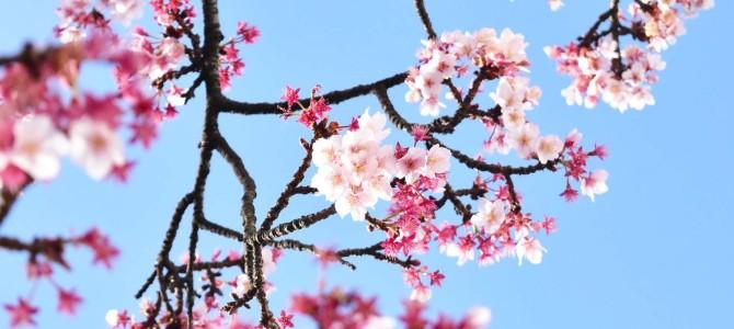 あたみ桜 ~熱海