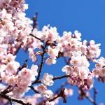 寒桜が咲き始めました!