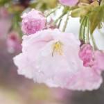 雨の日曜日、ソメイヨシノは霞む