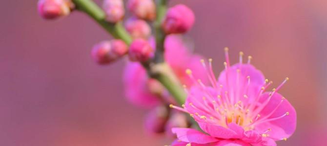 梅が満開ですよ~ヽ(´▽`)/