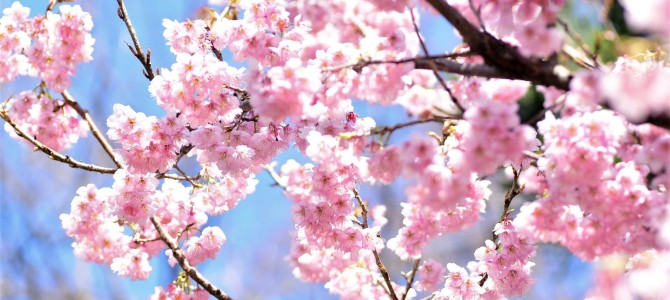 新宿御苑で寒桜~♪