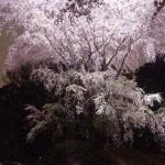 4月になりました!~桜満開!2