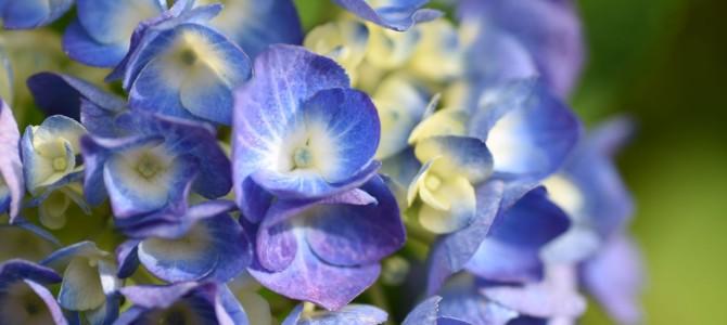 紫陽花とご近所の花