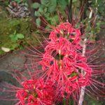 柳森神社で彼岸花が咲いてましたよ~。