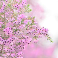新宿御苑の春 ジャノメエリカ他