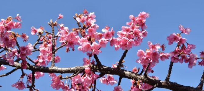 木場公園に河津桜を探しに行ったよ。