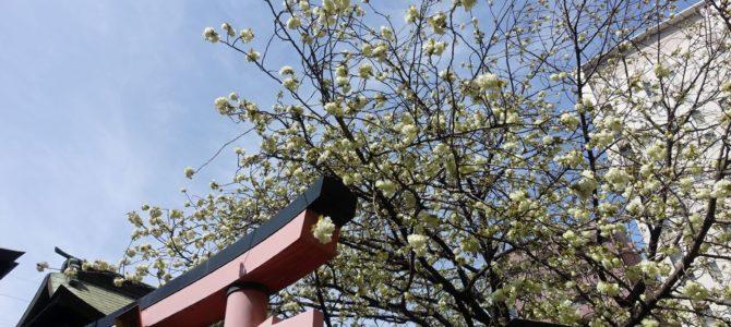 柳森神社の御衣黄が咲いてた!
