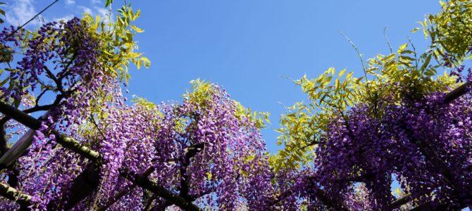 ビフォーコロナと藤の花