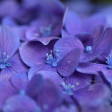 紫陽花と波紋