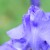 神代植物公園 再び! ~青い花